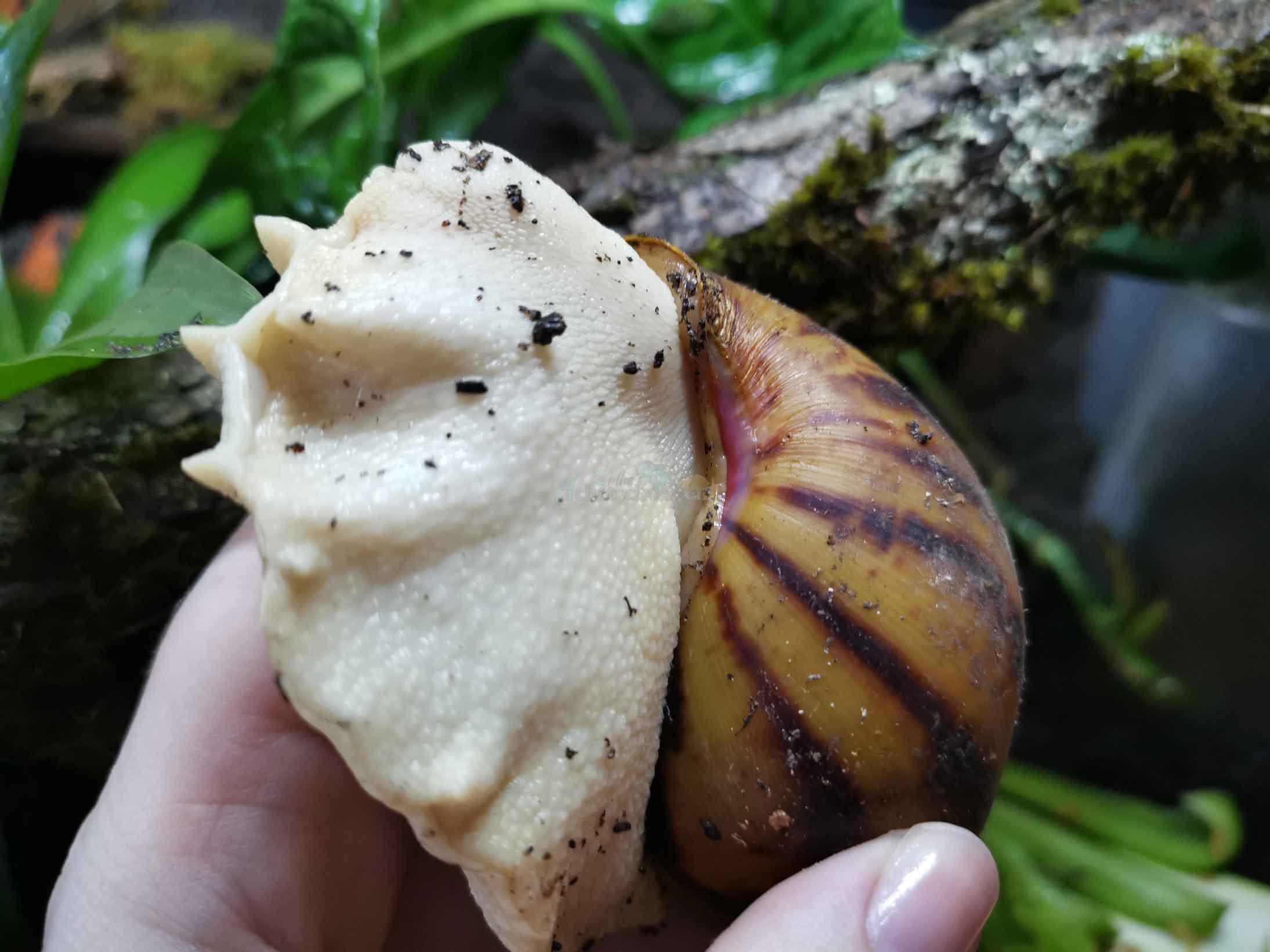 Archachatina marginata suturalis columella Achatschnecken Afrikanische Riesenschnecke